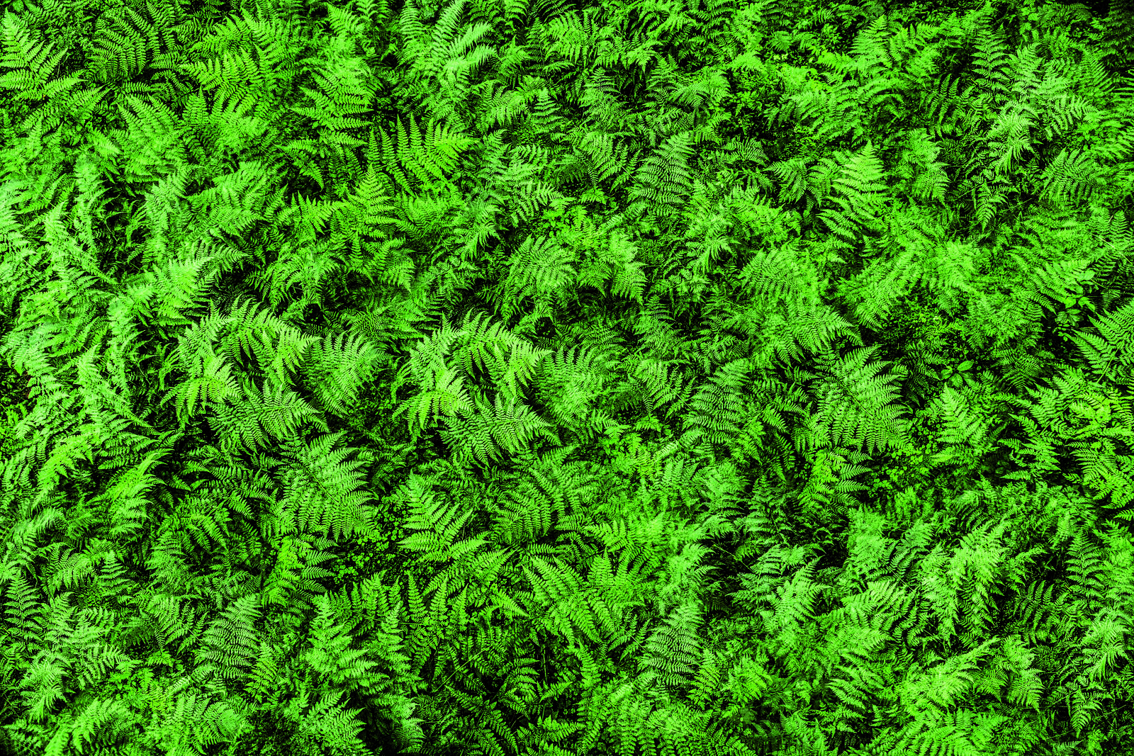Royal Fern (Image 2)